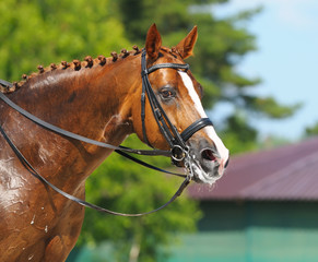 Equestrian sport - portrait of relaxation horse