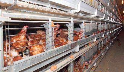 Eggs farm