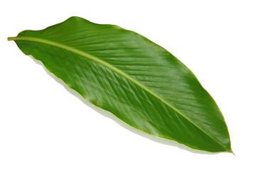 Ginger Leaf