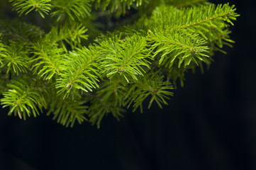 Green branches of a Christmas tree