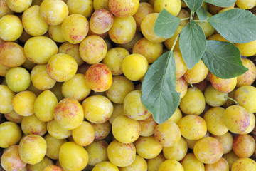 Ripe yellow french mirabelles