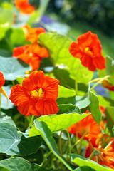 Blooming nasturtium in the garden