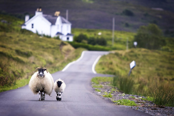Sheep walking with its lamb on road in Scotland.