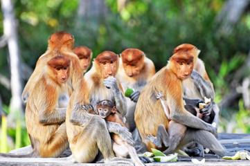 Fotorolgordijn Aap Group of Proboscis Monkeys