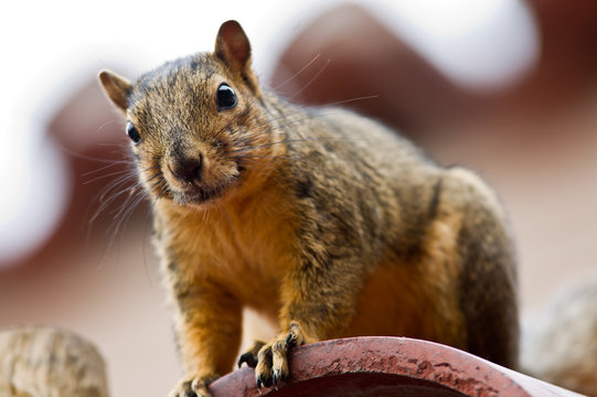 A curious Squirrel on a rooftop watching for food.