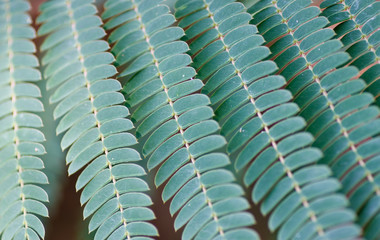 Green Lines of Mimosa Leaves