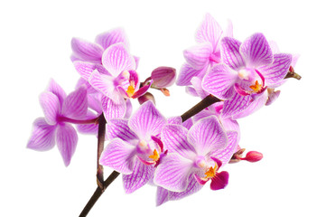 Wall Mural - red orchid