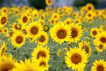 Sunflower / Summer Flower in JAPAN