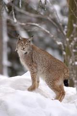 Tuinposter Lynx Europaeischer Luchs