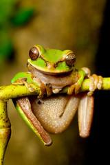 masked tree frog