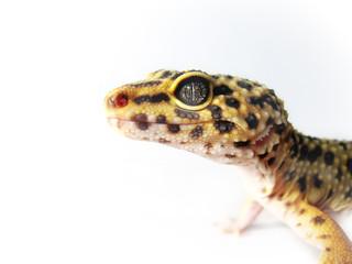 Leopard Gecko - Eublepharis macularius 1