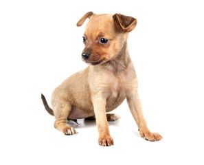 Funny puppy Chihuahua poses