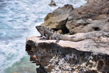 Iguana on the rocks. Mexico