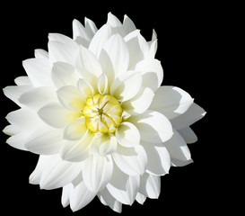 close-up of vibrant white dahlia. isolated