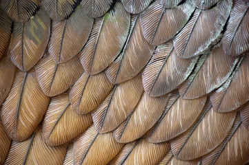 Photo sur Aluminium Les Textures Eagle Feathers