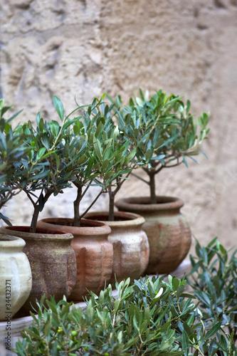 Olivier huile plante m diterran e sud arbre jardin pot photo libre de droits sur la - Maladie de l olivier en pot ...