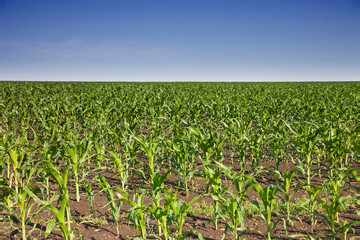 Young corn on field