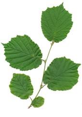 twig and leaves of hazel tree