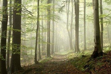 Keuken foto achterwand Bos in mist Forest trail among the deciduous and coniferous trees