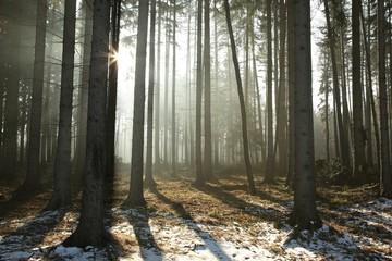 Keuken foto achterwand Bos in mist Coniferous forest backlit by the morning sun