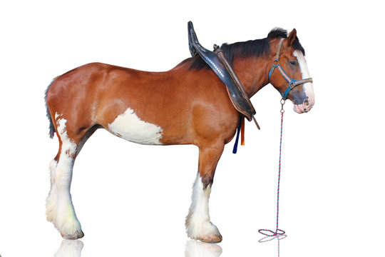 Clydesdale horse isolated on white background.