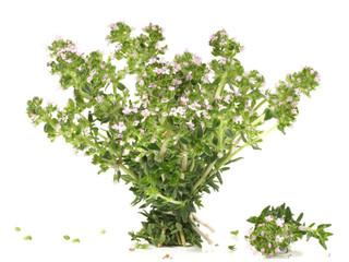 Thymian - Blüte