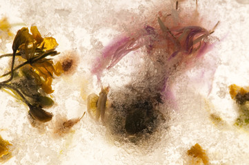 Frozen flowers. blossoms in the ice cube