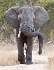 Big elephant approacing along a road