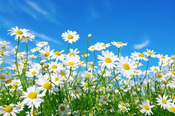 Fototapete - white daisies