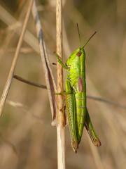 Weibchen der Kleinen Goldschrecke