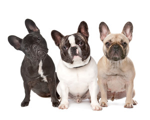 Foto op Canvas Franse bulldog three French Bulldogs in a row