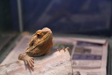 Bearded dragon looking in the zoo.