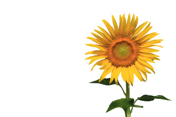 sunflower isolate on black background