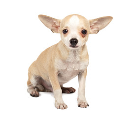 portrait of a cute purebred puppy chihuahua in front of white ba