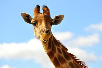 Photo sur Aluminium Girafe girafe sur ciel bleu 1