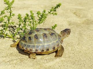 Walking turtle.