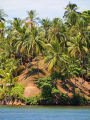 Coconuts trees