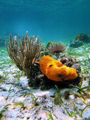 Underwater marine life with orange sea sponge, sea rod coral and a feather duster worm in the Caribbean sea