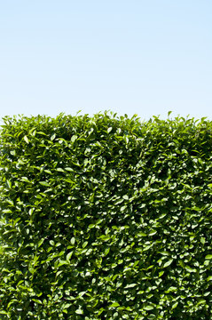 Green hedge with blue sky