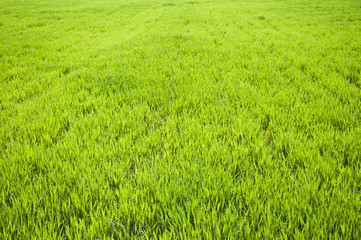 Field of green wheat grass