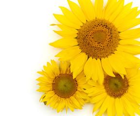 Beautiful yellow Sunflower background.