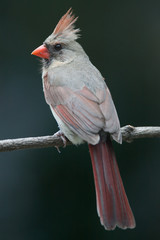 Female Northern Cardinal perched