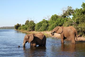 elephants at chobe river in Botswana