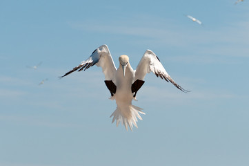 Landing northern gannet