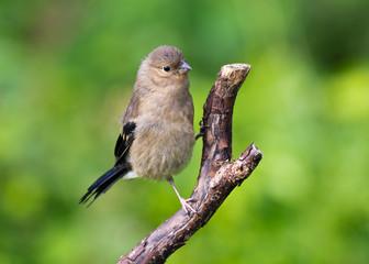 Bullfinch fledgling