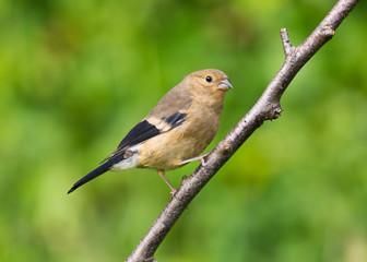 Juvenile Bullfinch (Pyrrhula pyrrhula)