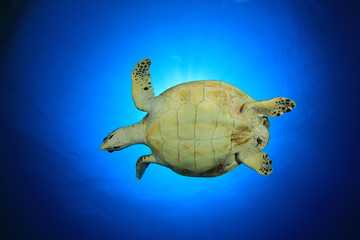 Hawksbill Sea Turtle against sunburst