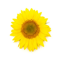 Beautiful yellow Sunflower background.
