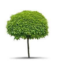 Isolated tree Catalpa- white background