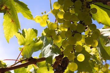raisins au soleil